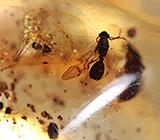Мадагаскарский копал с насекомыми 19,42 карат